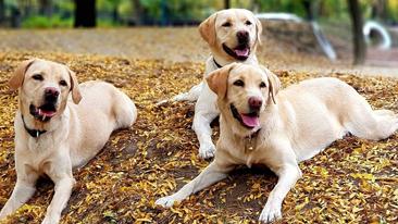 Három zsemle színű Labrador retriever kutya fekszik az őszi avarban_kicsi