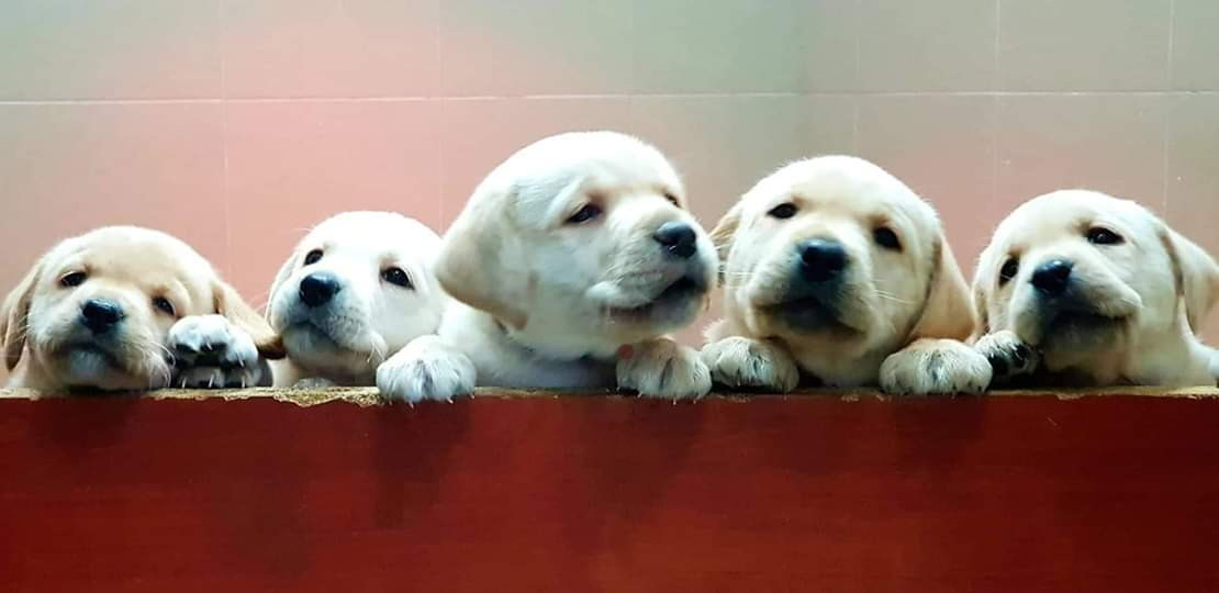 kép: öt labrador kiskutya néz ki egy dobozból