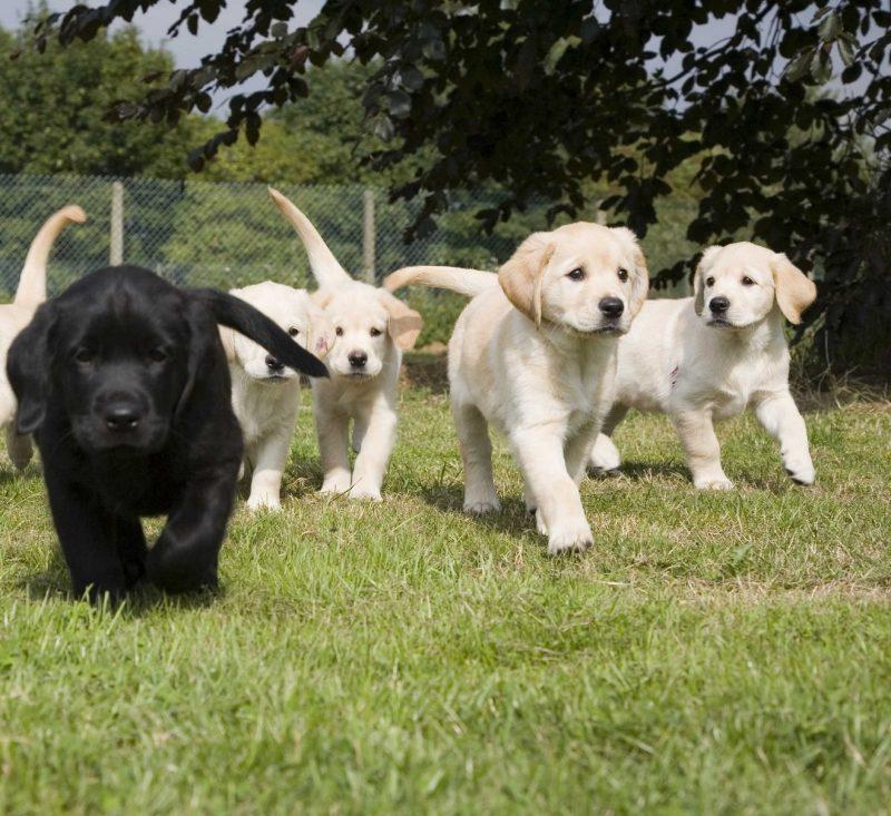 Golden retrive kölyökkutyák sétálnak a fűvön