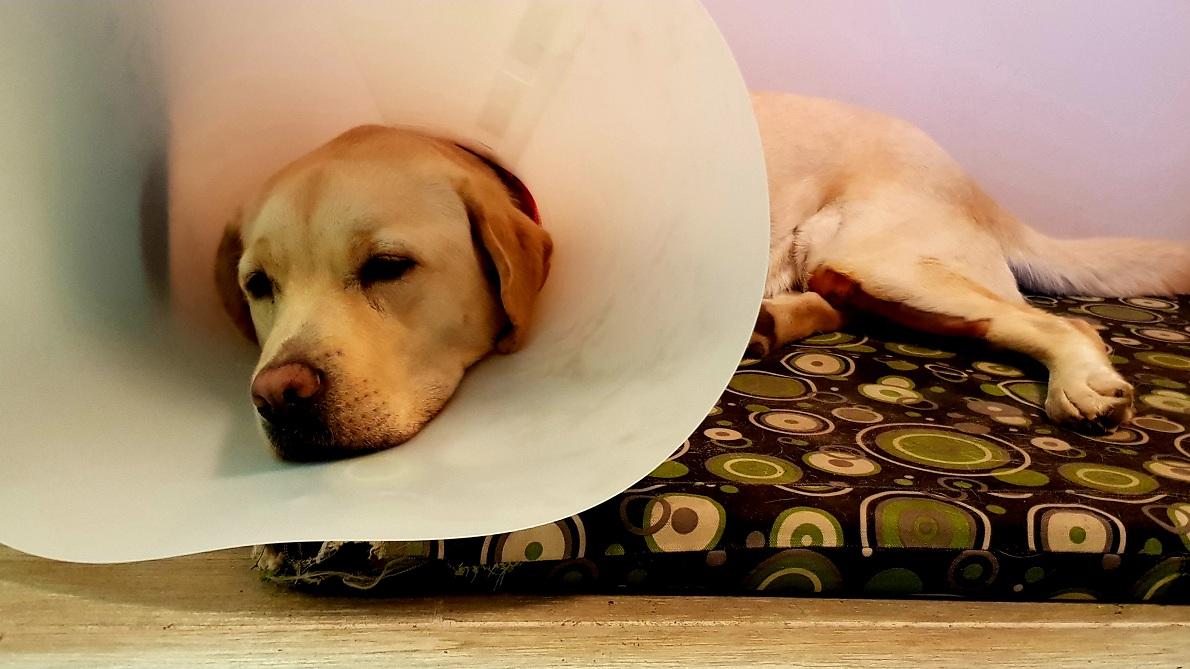 beteg labrador kutya fekszik