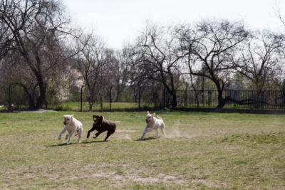 Labrador kutyák játékosan futkosnak