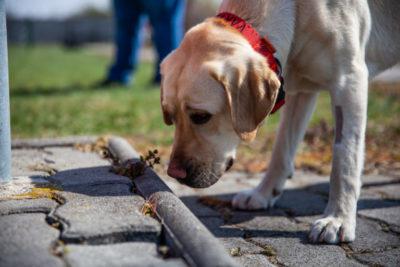 A képen egy vakvezető kutya éppen egy akadály előtt megállt.