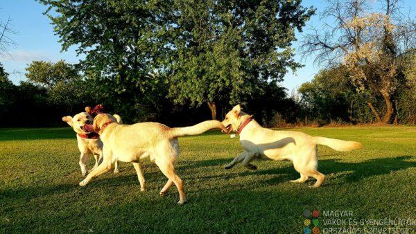 3 labrador játszik egy kötéllel