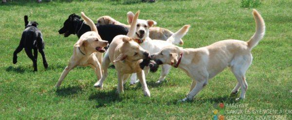 Fiatal kutyusok játszanak egymással