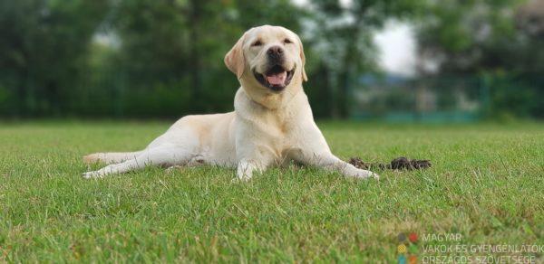 Protré kép egy fekvő labradorról, mellett a játéka egy parkban.