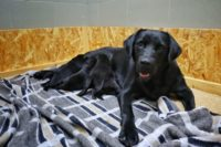 Fekete színű Labrador nöstény fekszik három kölykével