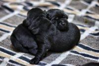Fekete színű labrador kölykök ölelkeznek