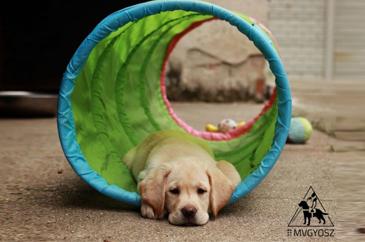 Labrador kölyök egy zöld színű alagútban fekszik