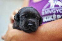 Pár hónapos fekete színű labrador kölyök áratalan szemekkel néz a kamerába