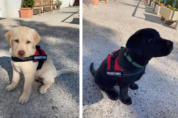 """a képek közül a bal oldalin a sárga labrador Uno, a jobb oldalin pedig a fekete labrador Ulti ül, mindketten """"vakvezető tanuló"""" feliratos mini hámot viselnek."""