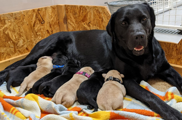 Mandy-mama, a fekete labrador tenyészszuka látható az éppen táplálkozó kölykökkel, akiknek csak a lábacskái és a farkincái látszanak.